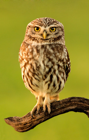 Small owl on a tree trunk in the nature Stock Photo