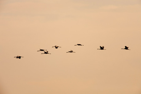 ordered: Ordered cranes flying in formation over an beautiful sky Stock Photo