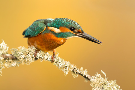 alcedinidae: The Common Kingfisher (Alcedo atthis) or Eurasian Kingfisher or river Kingfisher in Spain Stock Photo