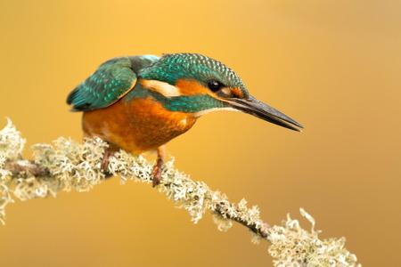 coraciiformes: The Common Kingfisher (Alcedo atthis) or Eurasian Kingfisher or river Kingfisher in Spain Stock Photo