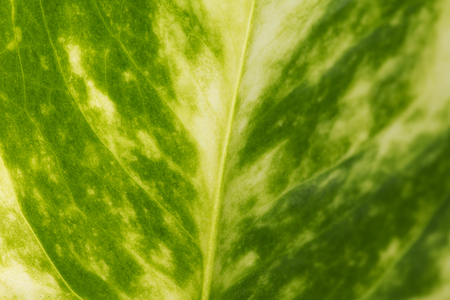 Detail of a green leaf for wallpaper