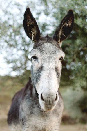 grosse fesse: Portrait d'un âne drôle avec de grandes oreilles dans le domaine