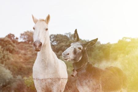 필드에 큰 귀와 회색 당나귀와 아름 다운 흰 말