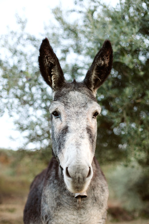ears donkey: Portrait of a funny donkey with big ears in the field