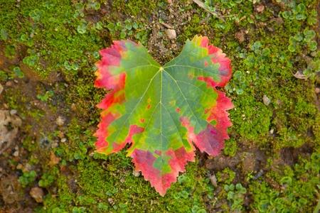 transformation de couleur d'une feuille de vigne, vert au rouge