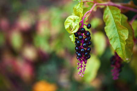 conspicuous: Beautiful cluster of autumn fruits in garnet tones Stock Photo