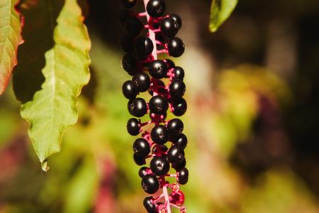 Beautiful cluster of autumn fruits in garnet tones Stock Photo