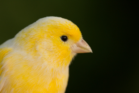 wild canary: Beautiful yellow canary with a nice plumage