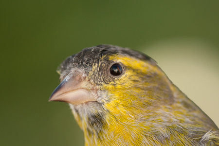 serine: Beautiful yellow and grey canary with a nice plumage