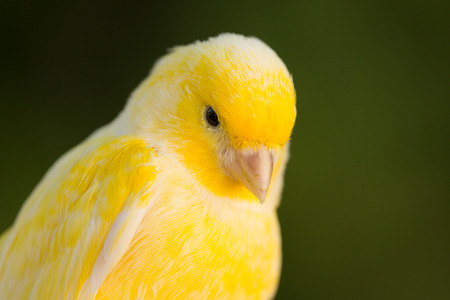 serine: Beautiful yellow canary with a nice plumage