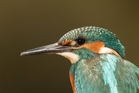 coraciiformes: Profile of a Kingfisher bird with turquoise feathers