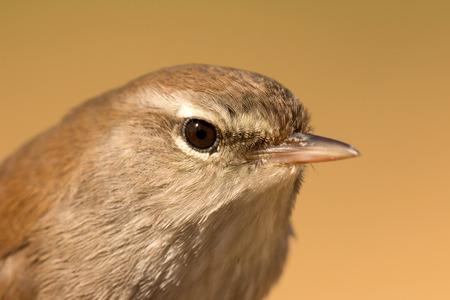 serine: Profile of a little brown wild bird Stock Photo