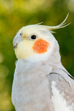 Beautiful parrot nymph gray with yellow crest Stock Photo