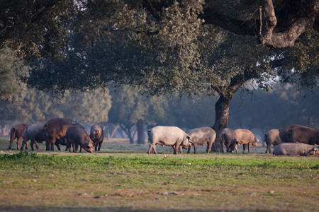 extremadura: Iberian pigs grazing in the Extremadura landscape in Spain