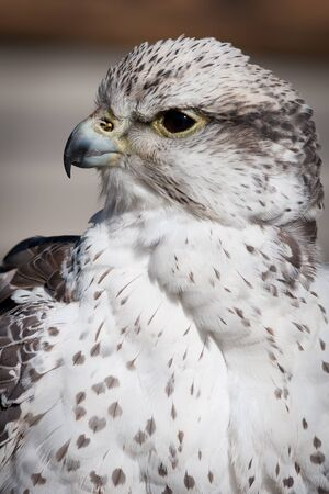 Beautiful profile of a grey and white hawk in the nature