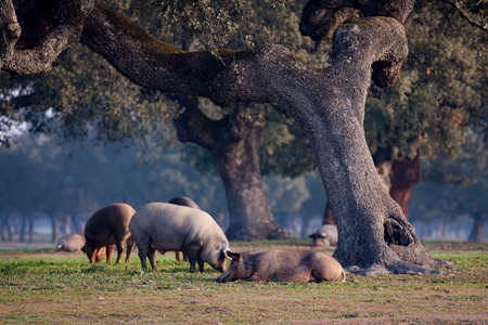 Iberian pigs grazing in the Extremadura landscape in Spain