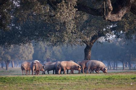 스페인의 Extremadura 풍경에서 방목 이베리아 돼지