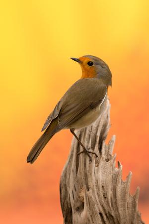 Beautiful small bird with a orange feathers Stock Photo