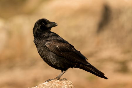 Brigh black plumage of a crow in the nature Stock Photo