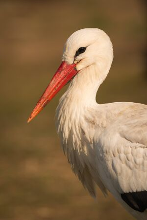 Natural profile of a elegant stork in the field Stock Photo