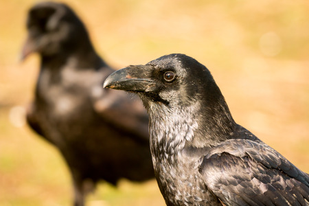 Two black crows in the nature