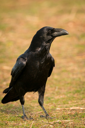 brigh: Brigh black plumage of a crow in the nature Stock Photo