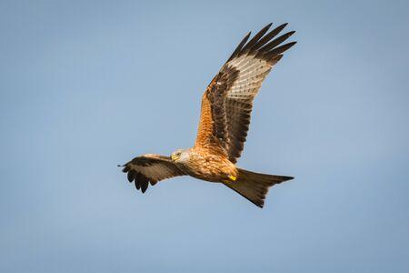 素晴らしい背景の空と飛行中の猛禽 写真素材