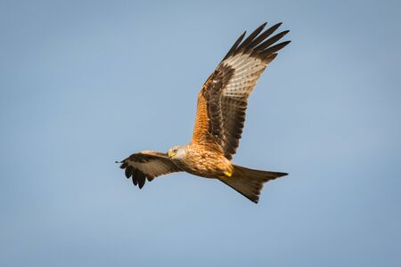 Awesome bird of prey in flight with the sky of background Stock Photo - 71961486