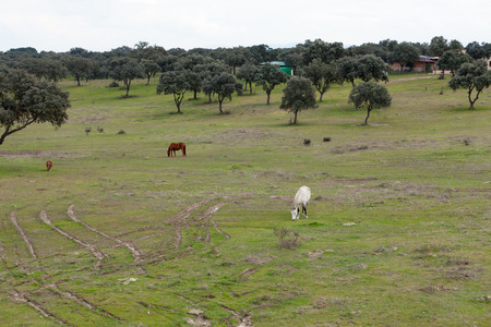 Nice free horse in the pastures of Extremadura in Spain