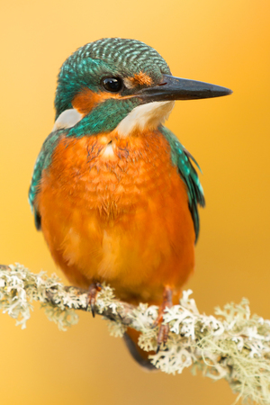 common blue: Kingfisher perched on a branch in its natural habitat Stock Photo