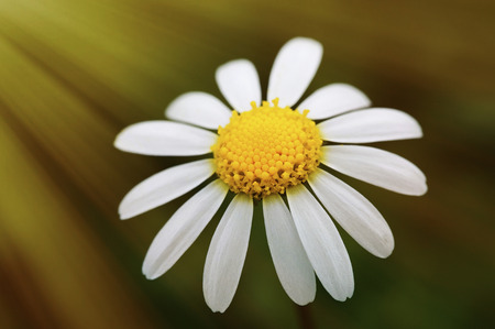 marguerite: Macro of wild daisy in the field during spring