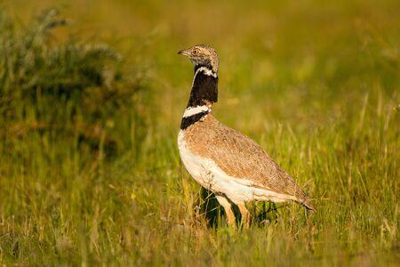 Beautiful wild bird in the meadow. Tetrax tetrax Stock Photo