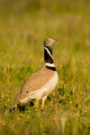 mating: Beautiful wild bird in the meadow. Tetrax tetrax Stock Photo