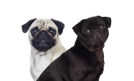 Nice pug carlino dogs white and black isolated on a white background