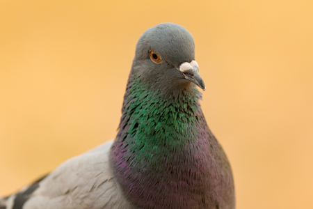 Portrait of a wild dove with beautiful feathers green and grey