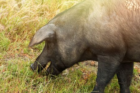 black moor: Iberian pigs grazing in the Extremadura landscape in Spain