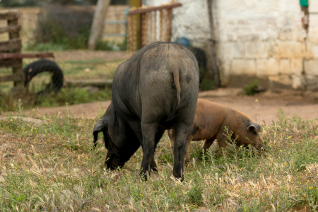 Iberian pigs grazing in a farm in the landscape