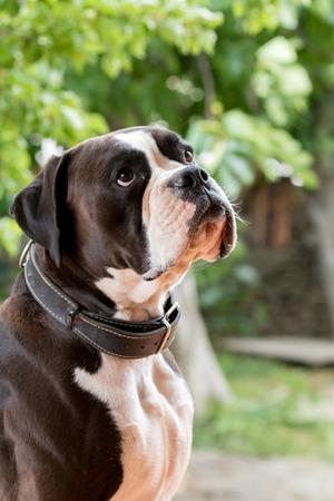 pessoas: Cão boxer branco e preto no jardim Imagens