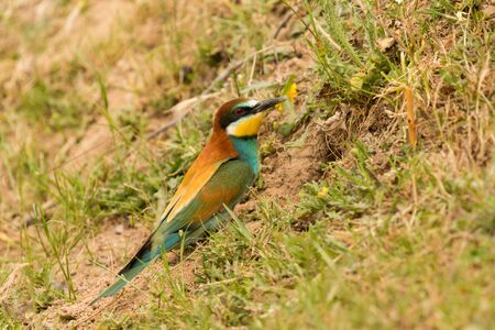 Beautiful bird with a nice plumage doing the nest in the soil Stock Photo