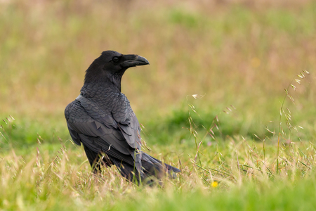 corvus: Brigh black plumage of a crow in the nature Stock Photo