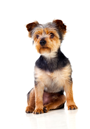 cutted: Cute small dog with cutted hair isolated on a white background Stock Photo