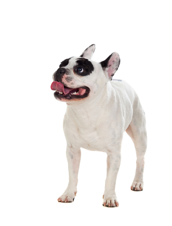 Portrait in Studio of a cute bulldog isolated on a white background Stock Photo