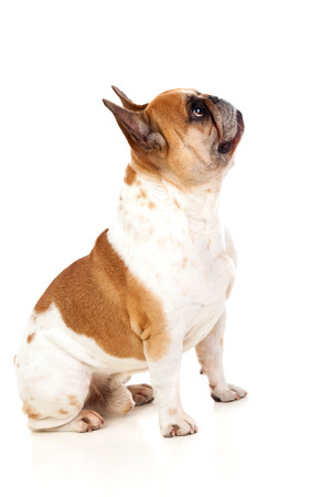muscled: Portrait in Studio of a cute bulldog isolated on a white background Stock Photo