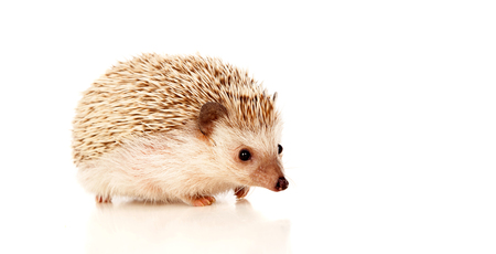 Nice pet. Brown hedgehog isolated on white background. Stock Photo