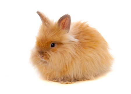 Beautiful brown rabbit toy with long and soft hair isolated on a white background