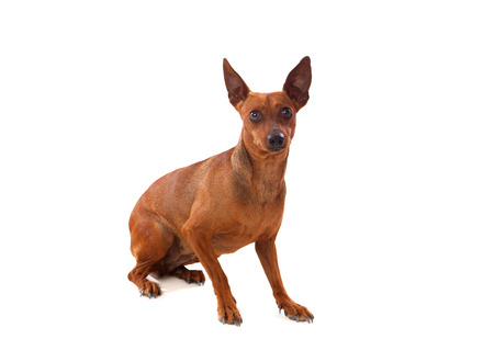 dog grooming: Beautiful brown dog isolated on a white background