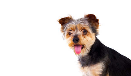 razas de personas: Cute small dog with cut hair isolated on a white background