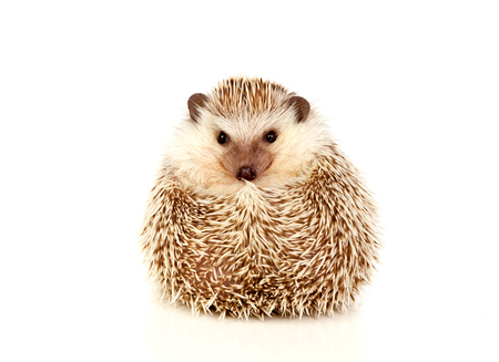 bristles: Nice pet. Brown hedgehog isolated on white background. Stock Photo