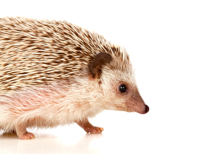 pygmy: Nice pet. Brown hedgehog isolated on white background. Stock Photo