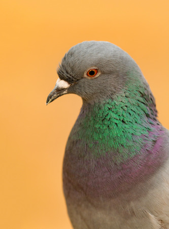 Portrait of a wild dove